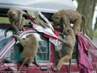 И маймуните искат да шофират